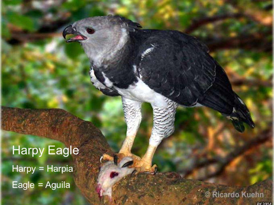 Quiz Harpy Eagle Harpy = Harpia Eagle = Aguila