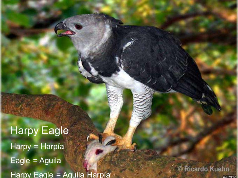 Quiz Harpy Eagle Harpy = Harpía Eagle = Aguila Harpy Eagle = Aguila Harpía