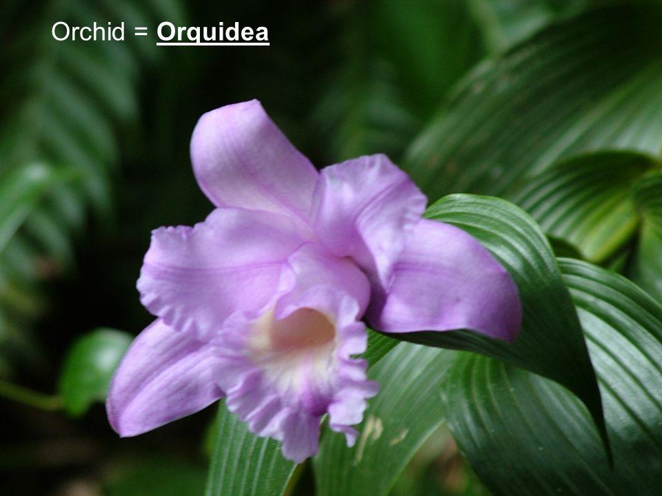 Orchid = Orquidea