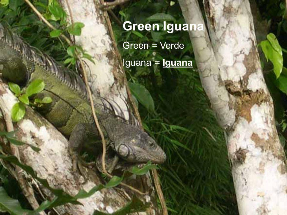 Green Iguana Green = Verde Iguana = Iguana