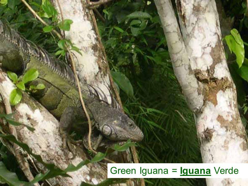 Green Iguana = Iguana Verde