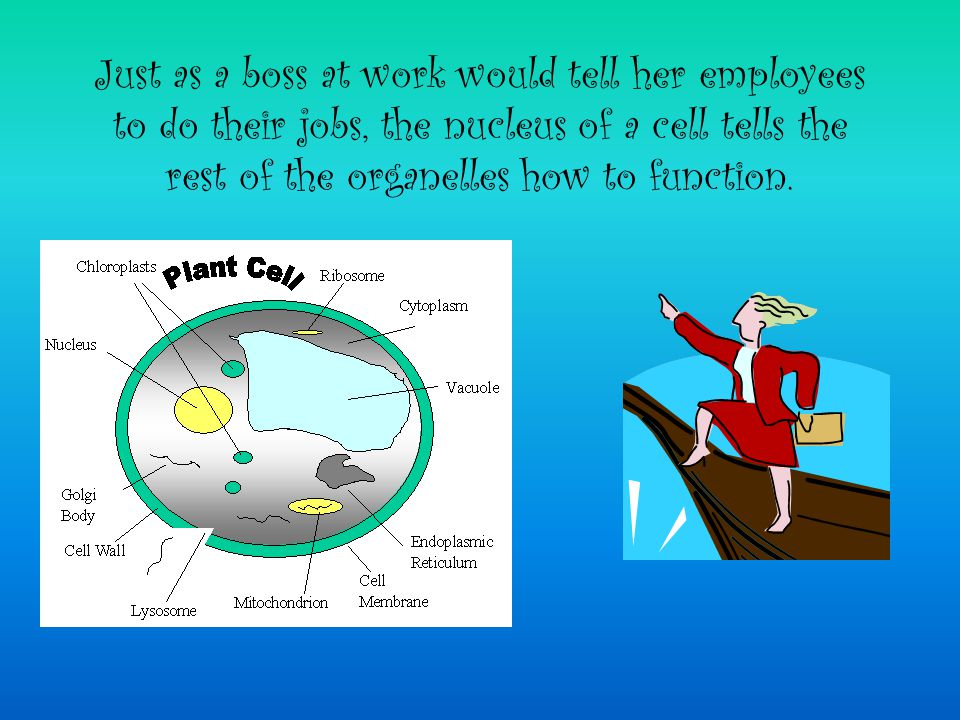 Just as a boss at work would tell her employees to do their jobs, the nucleus of a cell tells the rest of the organelles how to function.
