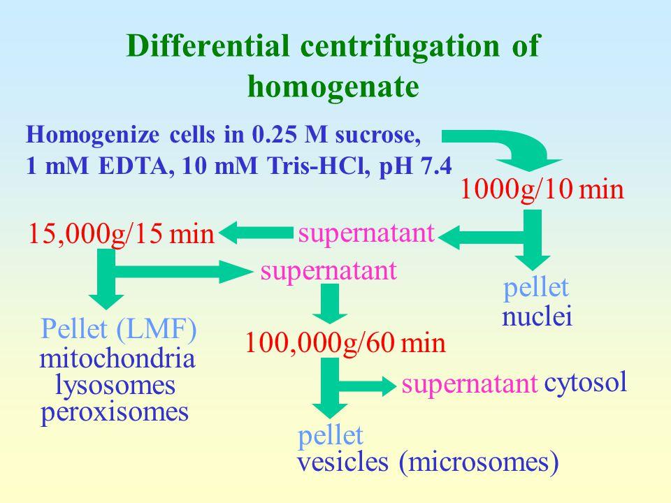 Homogenize cells in 0.25 M sucrose, 1 mM EDTA, 10 mM Tris-HCl, pH 7.4 1000g/10 min pellet nuclei supernatant 15,000g/15 min 100,000g/60 min Pellet (LM