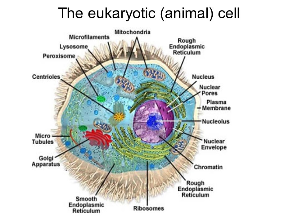 The eukaryotic (animal) cell