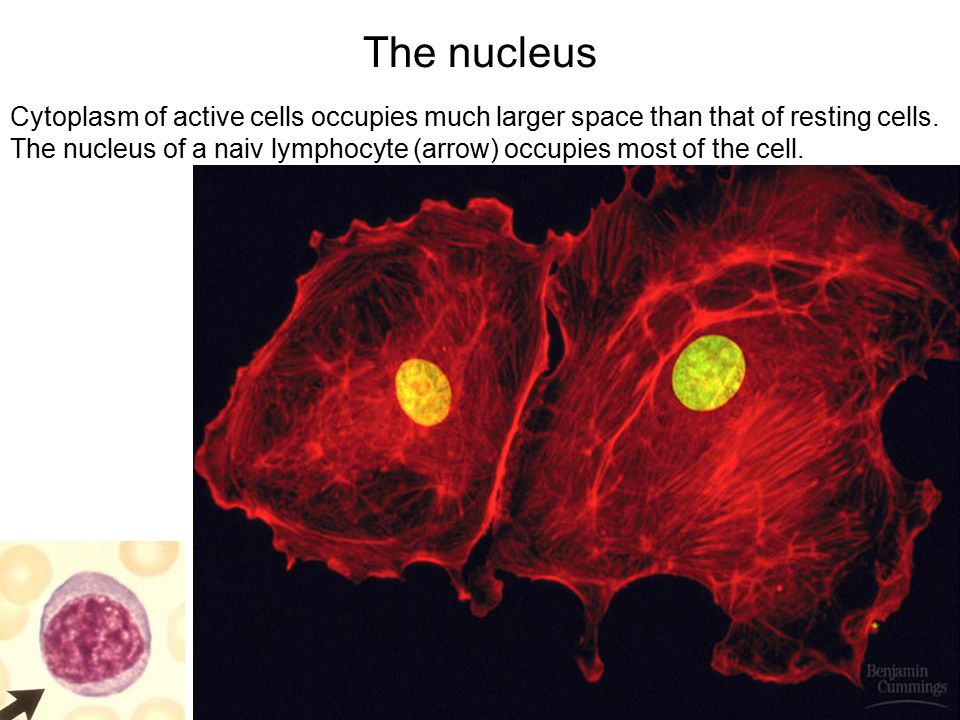 The nucleus Cytoplasm of active cells occupies much larger space than that of resting cells.