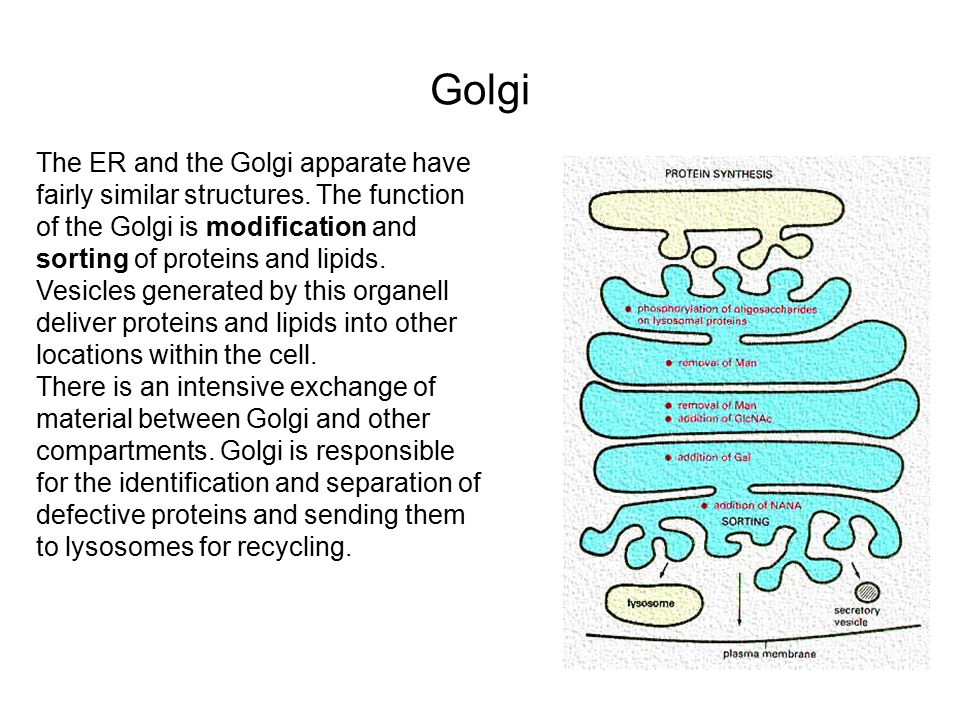 Golgi The ER and the Golgi apparate have fairly similar structures.