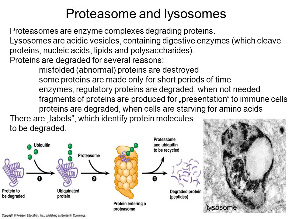 Proteasome and lysosomes Proteasomes are enzyme complexes degrading proteins.