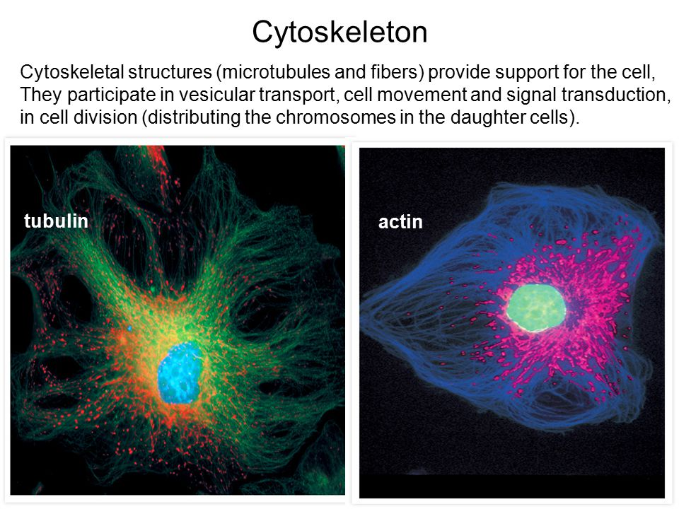 Cytoskeleton tubulin actin Cytoskeletal structures (microtubules and fibers) provide support for the cell, They participate in vesicular transport, cell movement and signal transduction, in cell division (distributing the chromosomes in the daughter cells).