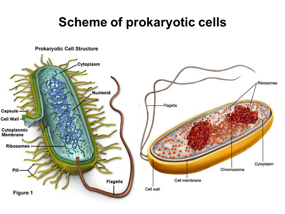 Scheme of prokaryotic cells