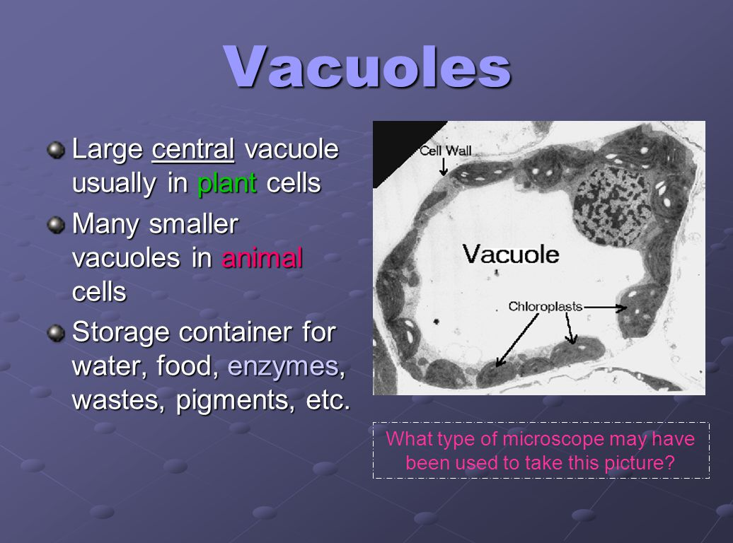 Vacuoles Large central vacuole usually in plant cells Many smaller vacuoles in animal cells Storage container for water, food, enzymes, wastes, pigmen