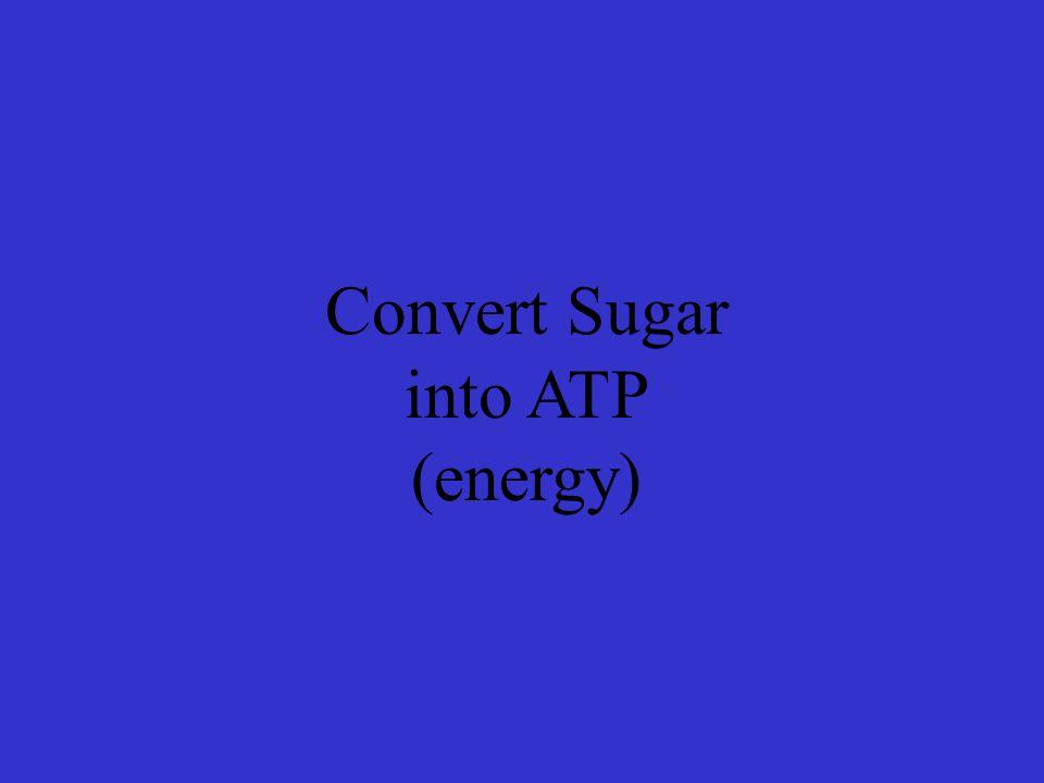 Convert Sugar into ATP (energy)
