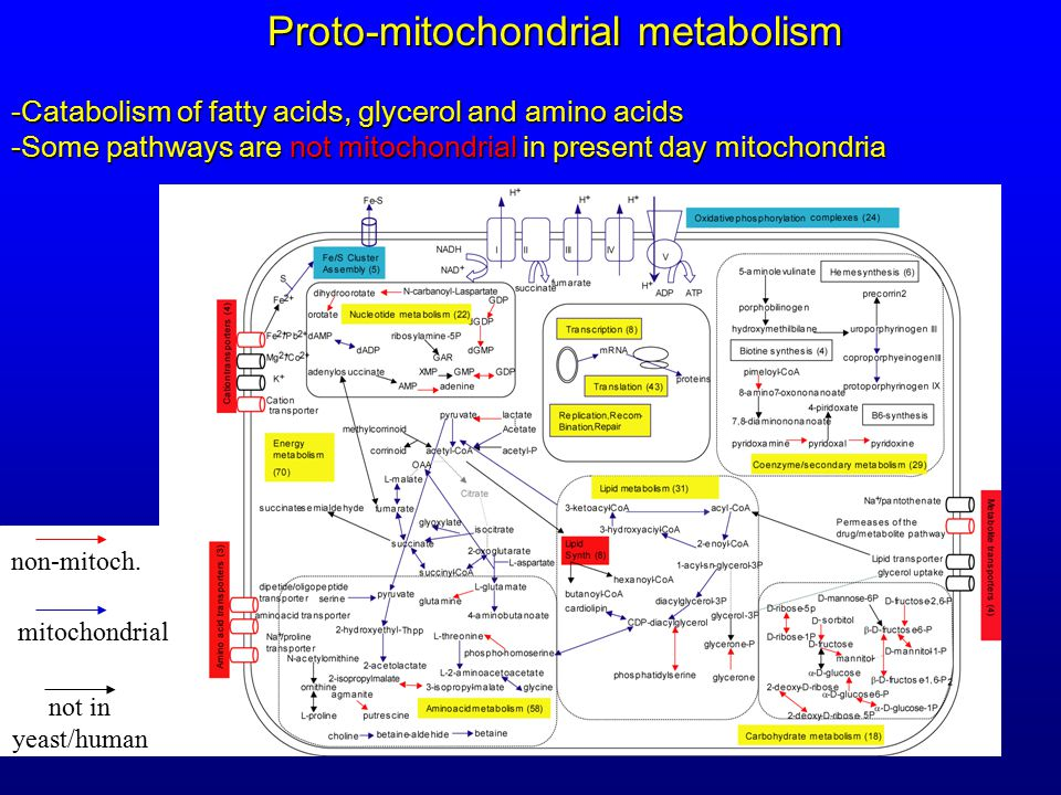 -Catabolism of fatty acids, glycerol and amino acids -Some pathways are not mitochondrial in present day mitochondria Proto-mitochondrial metabolism non-mitoch..