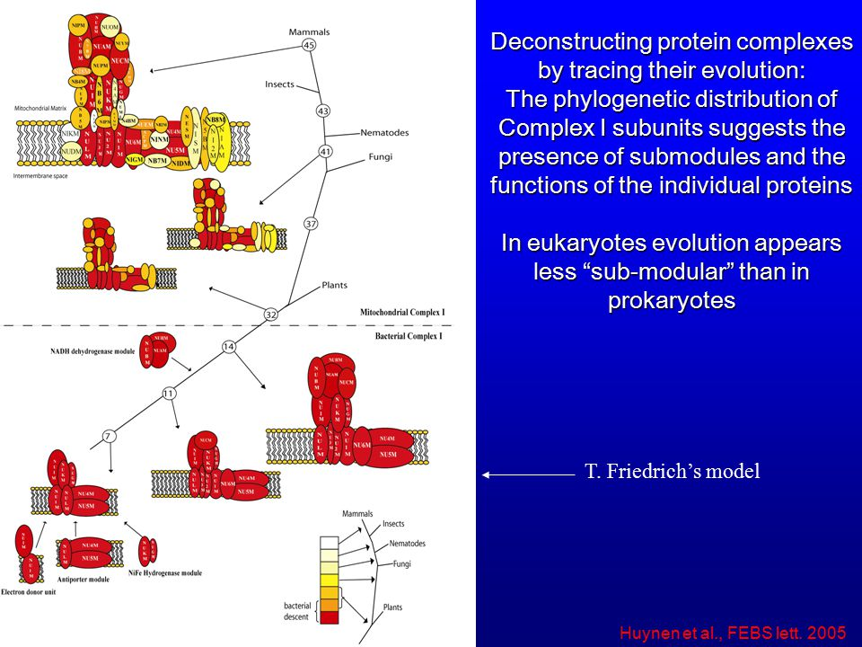 Deconstructing protein complexes by tracing their evolution: The phylogenetic distribution of Complex I subunits suggests the presence of submodules and the functions of the individual proteins In eukaryotes evolution appears less sub-modular than in prokaryotes T.