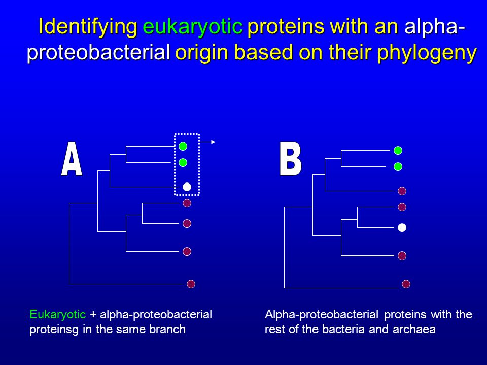 Alpha-proteobacterial proteins with the rest of the bacteria and archaea Eukaryotic + alpha-proteobacterial proteinsg in the same branch Identifying eukaryotic proteins with an alpha- proteobacterial origin based on their phylogeny