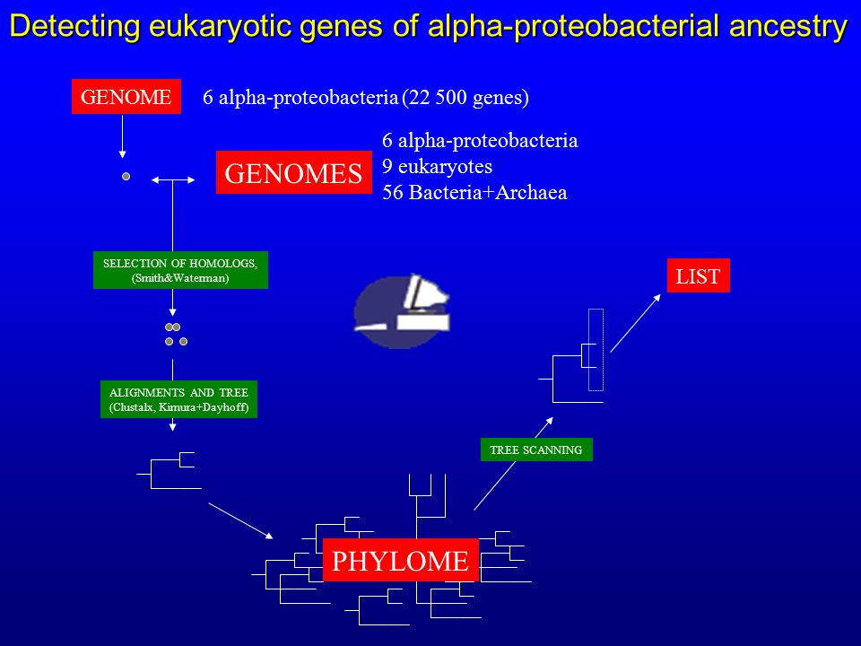 PHYLOME SELECTION OF HOMOLOGS, (Smith&Waterman) ALIGNMENTS AND TREE (Clustalx, Kimura+Dayhoff) GENOME GENOMES TREE SCANNING LIST Detecting eukaryotic genes of alpha-proteobacterial ancestry 6 alpha-proteobacteria 9 eukaryotes 56 Bacteria+Archaea 6 alpha-proteobacteria (22 500 genes)
