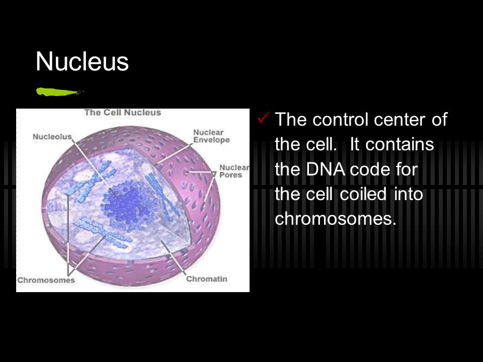 Nucleus The control center of the cell. It contains the DNA code for the cell coiled into chromosomes.