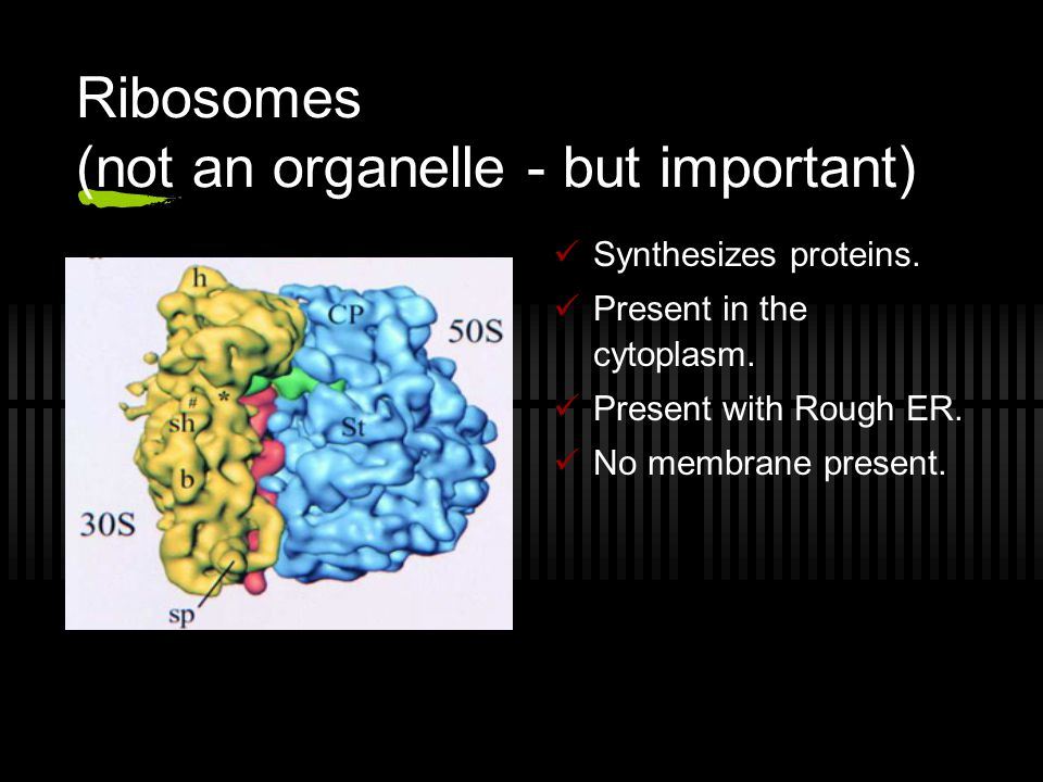 Ribosomes (not an organelle - but important) Synthesizes proteins. Present in the cytoplasm. Present with Rough ER. No membrane present.