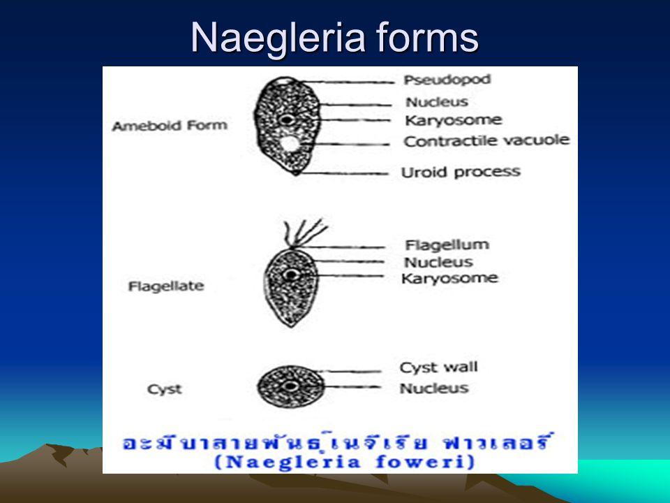 Naegleria forms