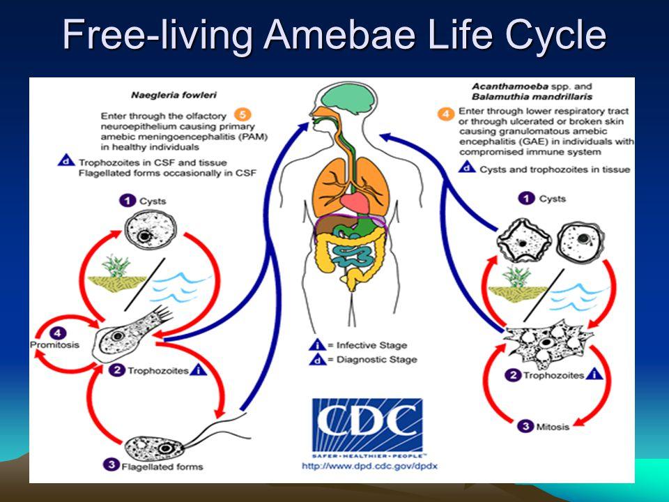 Free-living Amebae Life Cycle
