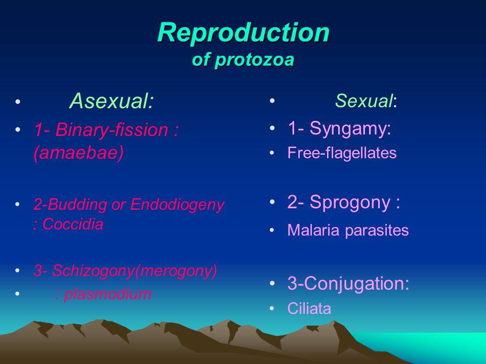 Reproduction of protozoa Asexual: 1- Binary-fission : (amaebae) 2-Budding or Endodiogeny : Coccidia 3- Schizogony(merogony) : plasmodium Sexual: 1- Syngamy: Free-flagellates 2- Sprogony : Malaria parasites 3-Conjugation: Ciliata