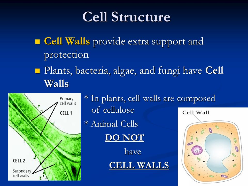 Cell Structure Cell Walls provide extra support and protection Cell Walls provide extra support and protection Plants, bacteria, algae, and fungi have Cell Walls Plants, bacteria, algae, and fungi have Cell Walls * In plants, cell walls are composed of cellulose * Animal Cells DO NOT DO NOT have have CELL WALLS
