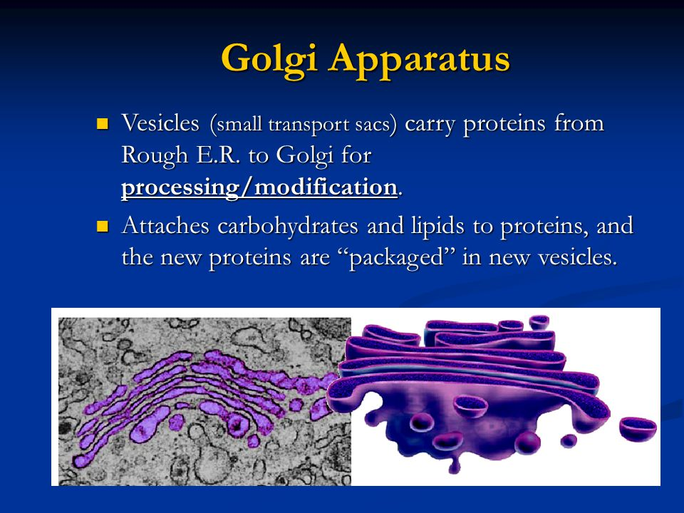 Golgi Apparatus Vesicles ( small transport sacs ) carry proteins from Rough E.R.