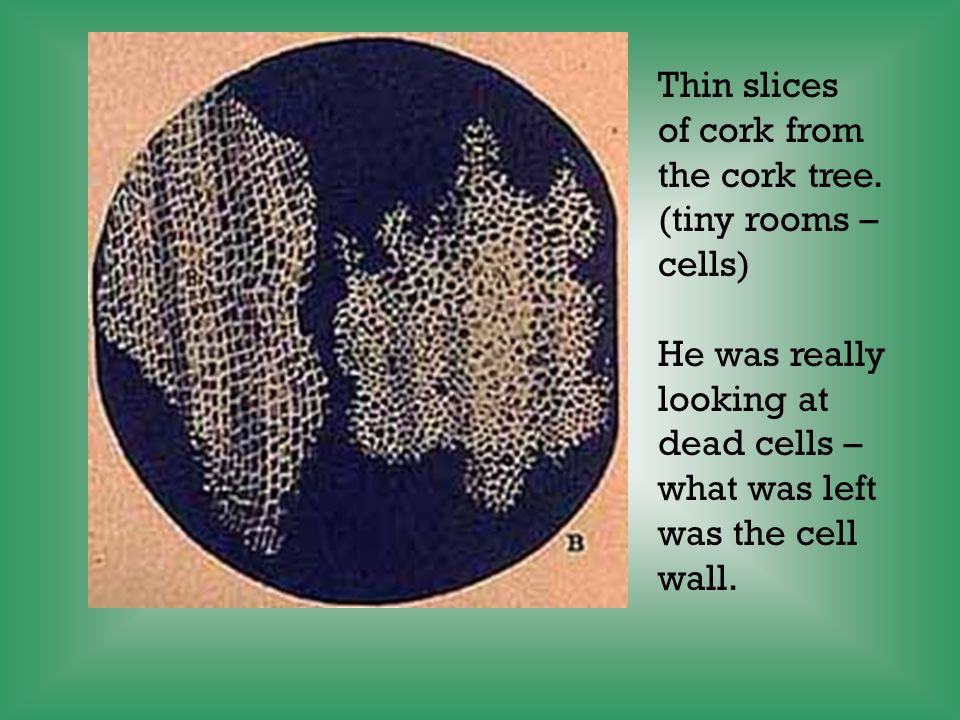 Robert Hooke 1665 First to see cells under a microscope that he created.