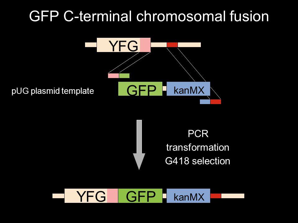Chromosome GFP kanMX6 Plasmid ERGChromosome PCR YFG GFP kanMX YFGGFP kanMX PCR transformation G418 selection GFP C-terminal chromosomal fusion pUG plasmid template