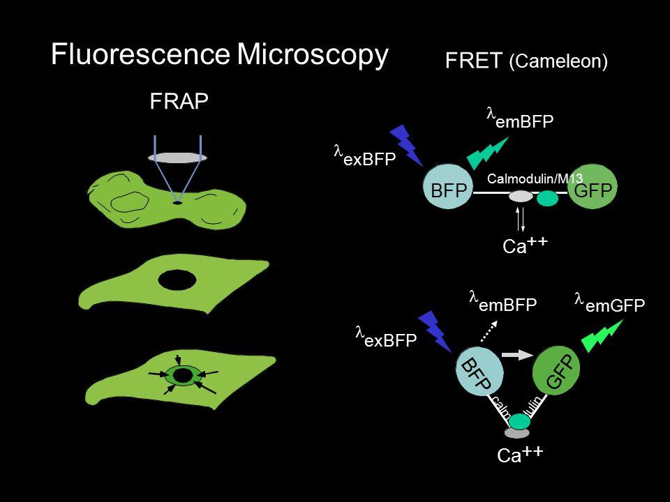 Fluorescence Microscopy FRAP FRET (Cameleon) B F P G F P Ca ++ o c a l m d u l i n exBFP emBFP emGFP BFPGFP Calmodulin/M13 Ca ++ emBFP exBFP