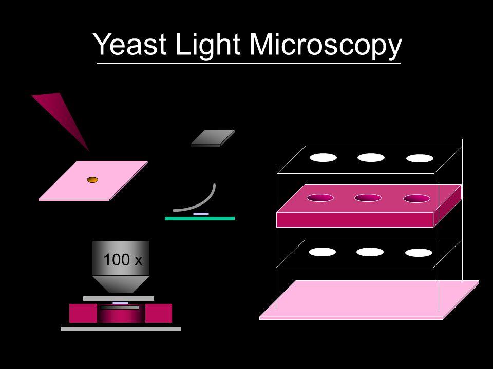 Yeast Light Microscopy 100 x