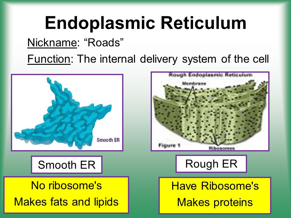 Endoplasmic Reticulum Nickname: Roads Function: The internal delivery system of the cell No ribosome s Makes fats and lipids Smooth ER Rough ER Have Ribosome s Makes proteins