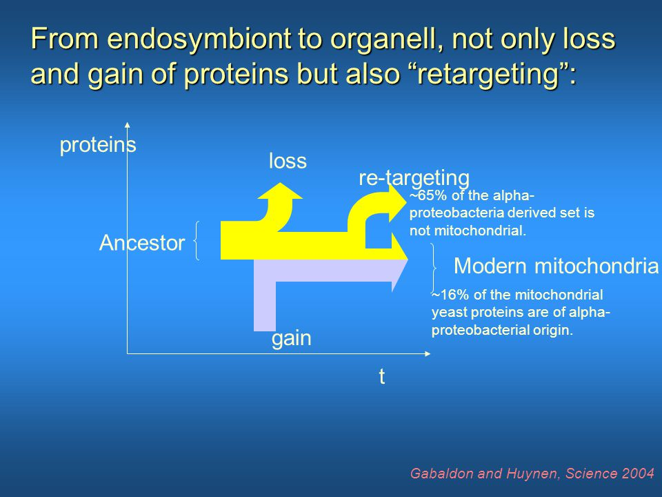 t proteins loss gain re-targeting Ancestor Modern mitochondria From endosymbiont to organell, not only loss and gain of proteins but also retargeting : ~16% of the mitochondrial yeast proteins are of alpha- proteobacterial origin.