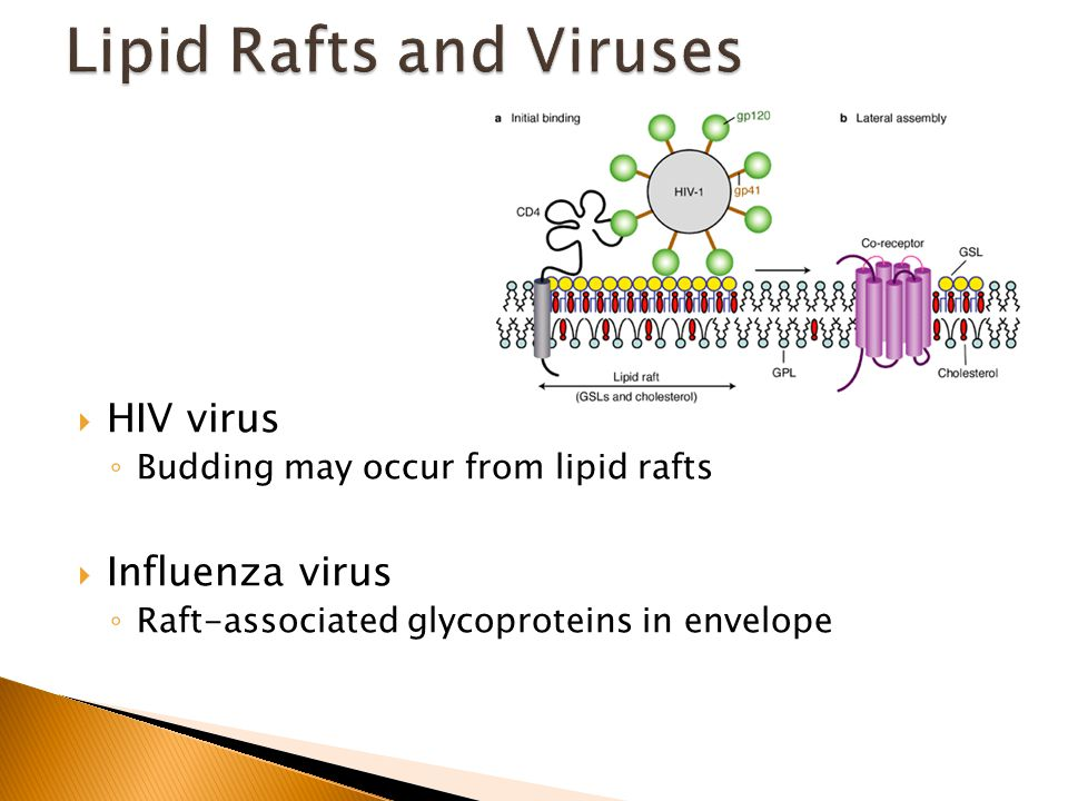  HIV virus ◦ Budding may occur from lipid rafts  Influenza virus ◦ Raft-associated glycoproteins in envelope