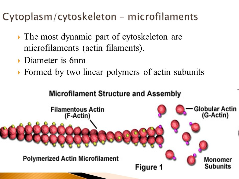  The most dynamic part of cytoskeleton are microfilaments (actin filaments).