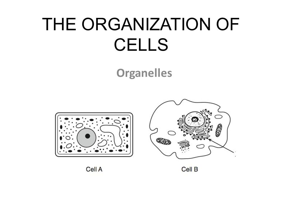 THE ORGANIZATION OF CELLS Organelles