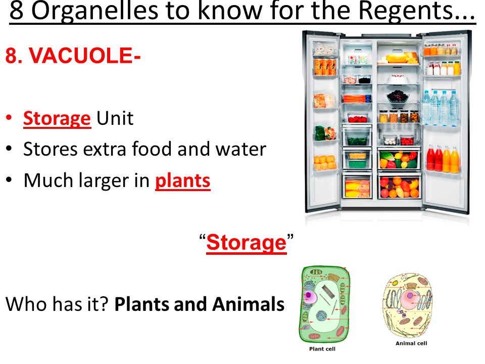 "8 Organelles to know for the Regents... 8. VACUOLE- Storage Unit Stores extra food and water Much larger in plants ""Storage"" Who has it? Plants and An"