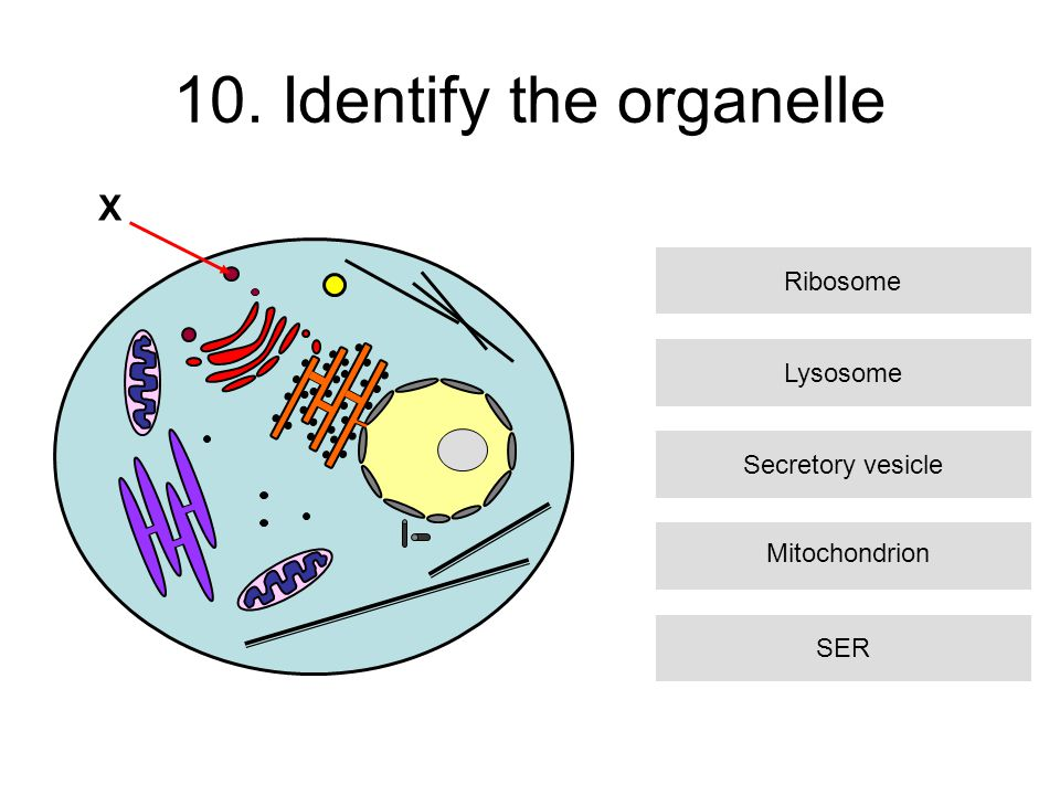10. Identify the organelle Lysosome Secretory vesicle SER Ribosome X Mitochondrion