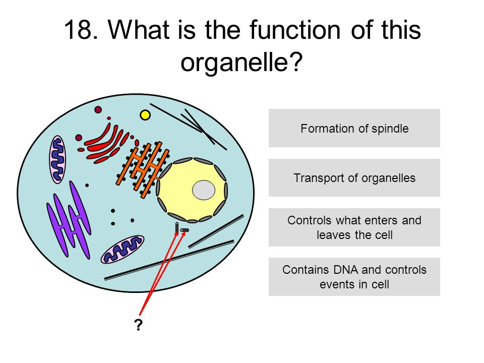 18. What is the function of this organelle.