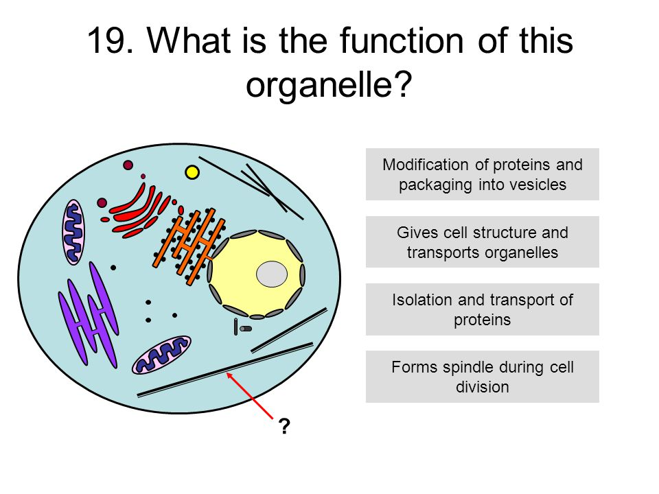 19. What is the function of this organelle.
