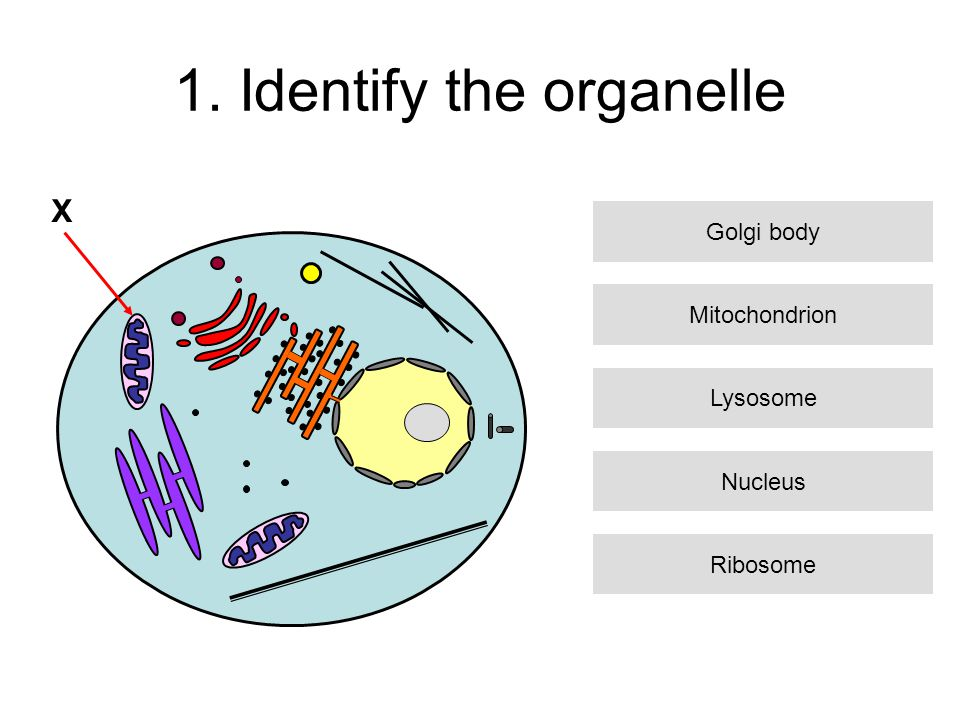 1. Identify the organelle X Mitochondrion Lysosome Nucleus Ribosome Golgi body