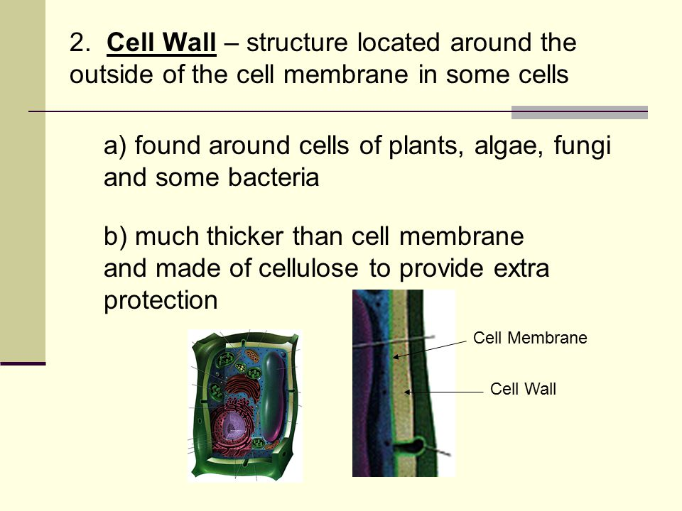 2. Cell Wall – structure located around the outside of the cell membrane in some cells a) found around cells of plants, algae, fungi and some bacteria