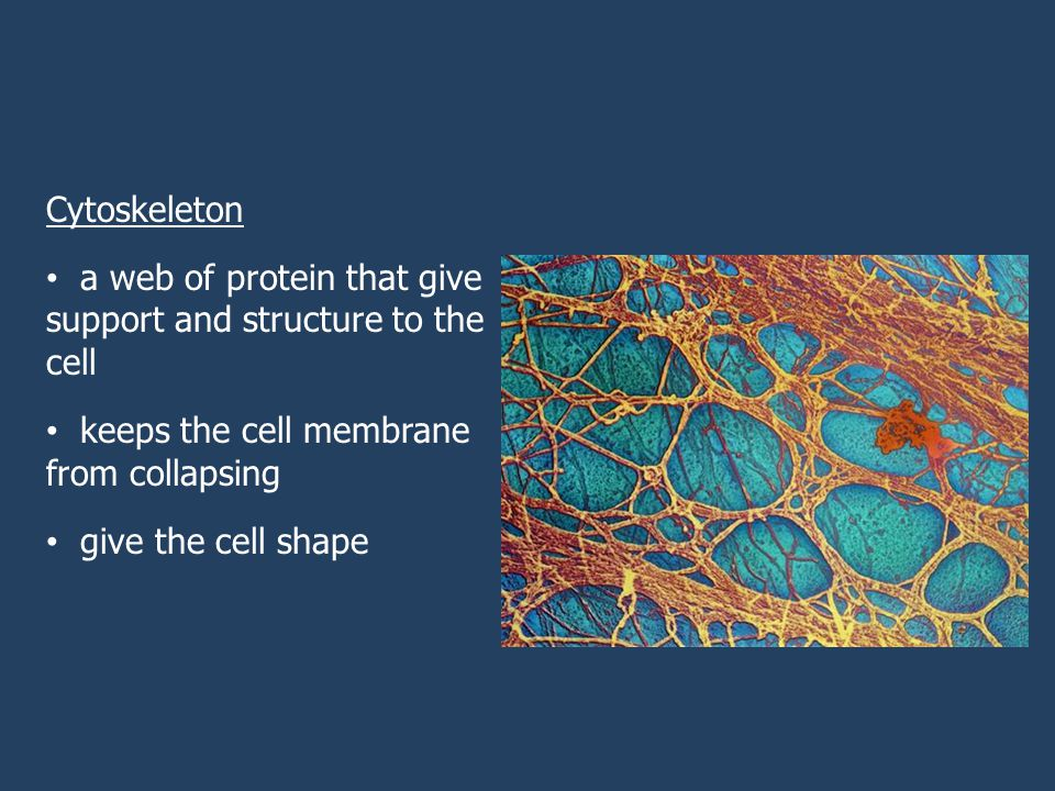 Cytoskeleton a web of protein that give support and structure to the cell keeps the cell membrane from collapsing give the cell shape
