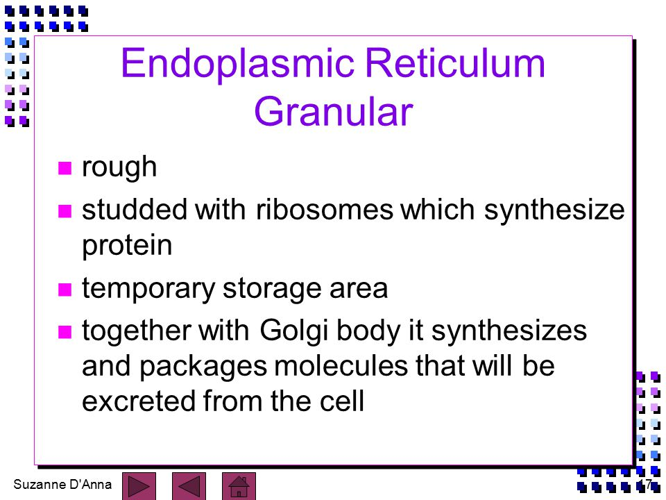 Suzanne D Anna17 Endoplasmic Reticulum Granular n rough n studded with ribosomes which synthesize protein n temporary storage area n together with Golgi body it synthesizes and packages molecules that will be excreted from the cell