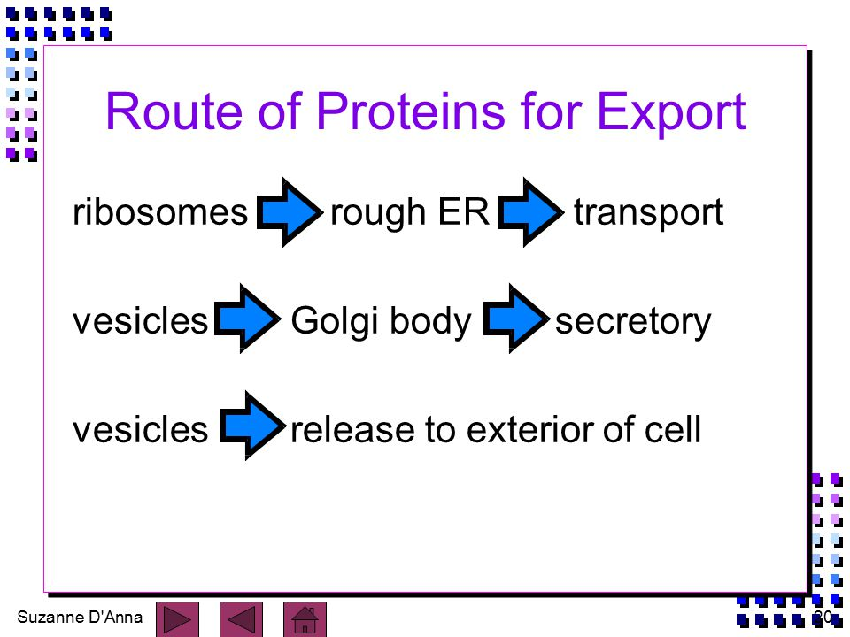 Suzanne D Anna20 Route of Proteins for Export ribosomes rough ER transport vesicles Golgi body secretory vesicles release to exterior of cell