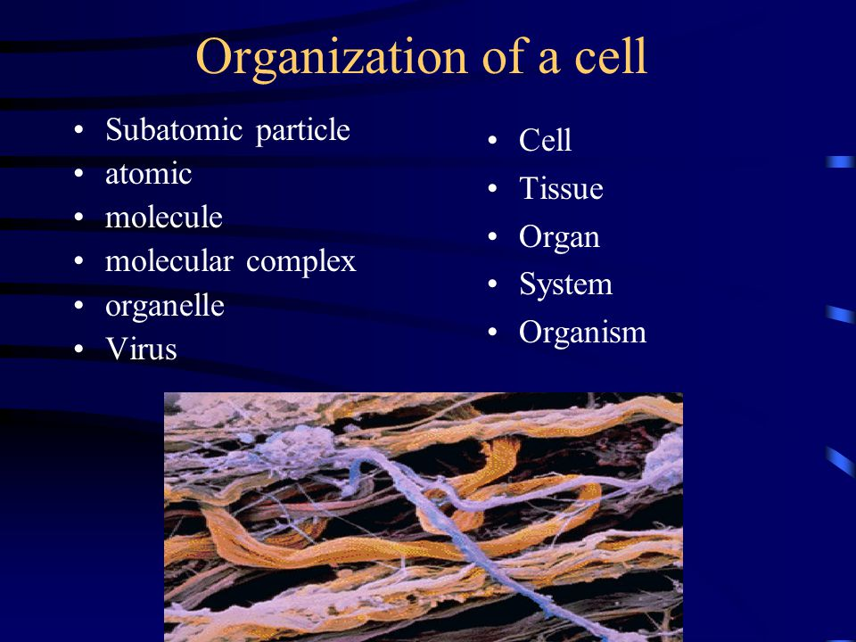 Organization of a cell Subatomic particle atomic molecule molecular complex organelle Virus Cell Tissue Organ System Organism