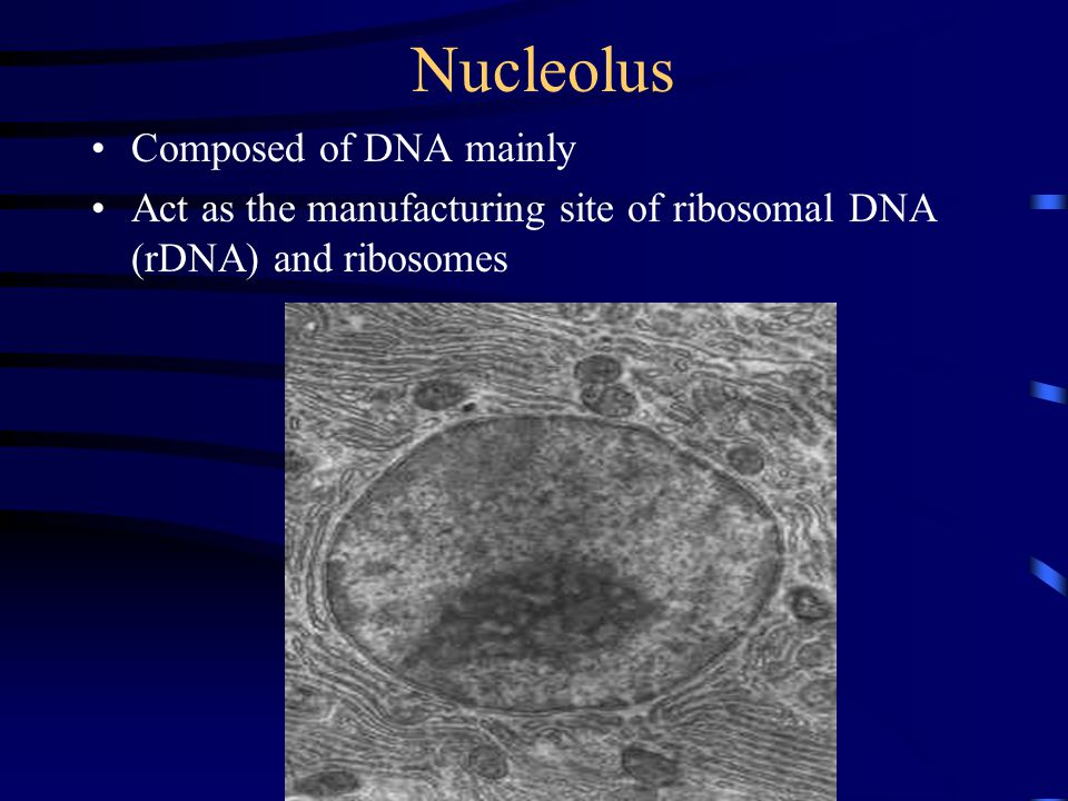 Nucleolus Composed of DNA mainly Act as the manufacturing site of ribosomal DNA (rDNA) and ribosomes