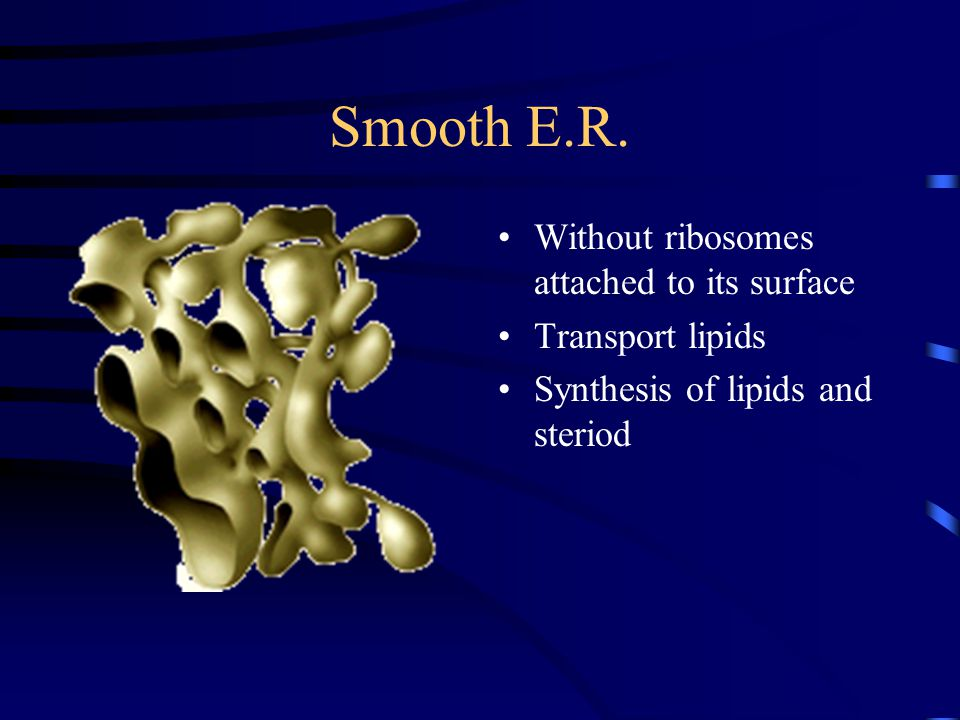 Smooth E.R. Without ribosomes attached to its surface Transport lipids Synthesis of lipids and steriod