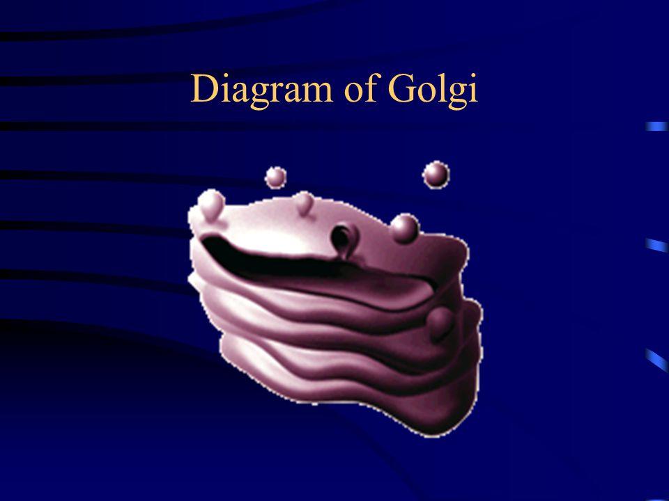 Diagram of Golgi