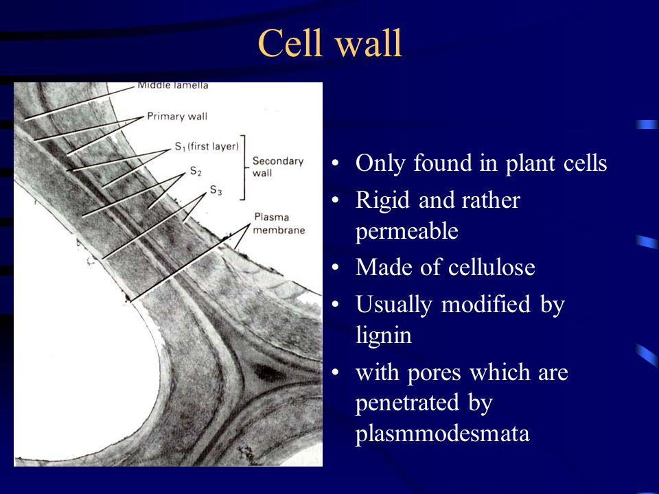 Cell wall Only found in plant cells Rigid and rather permeable Made of cellulose Usually modified by lignin with pores which are penetrated by plasmmo