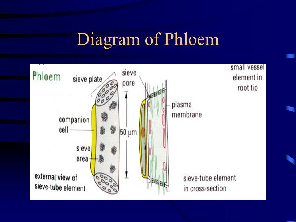 Diagram of Phloem